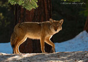 California Valley Coyote by DigiPainteR