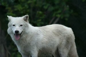 Arctic Wolf's Impression of a Dog