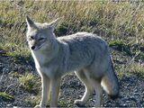 South American Gray Fox(Chilla Fox)