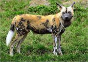 Caninefreeuseafricanwilddog
