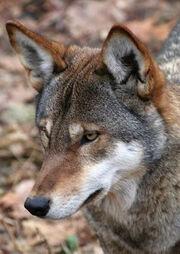 Wolf Coyote hybrid
