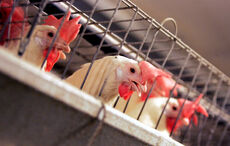 Chickens in cages