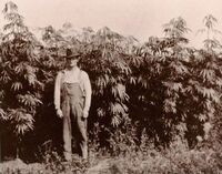 A Michigan hemp farmer standing with his crop in 1910