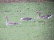 Greylags 27022010 small 1