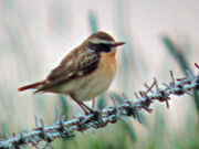 Whinchat 11052010 1 small