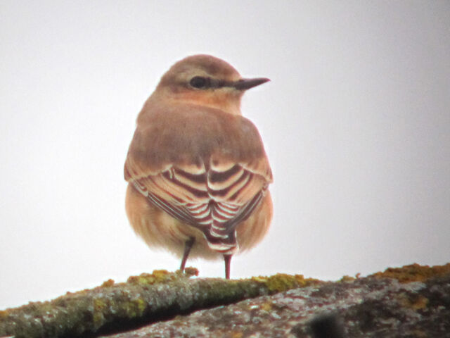 File:Northern wheatear 25082010 1 small.jpg