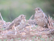 Mistle thrushes 18052010 1 small