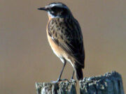 Whinchat ed 2