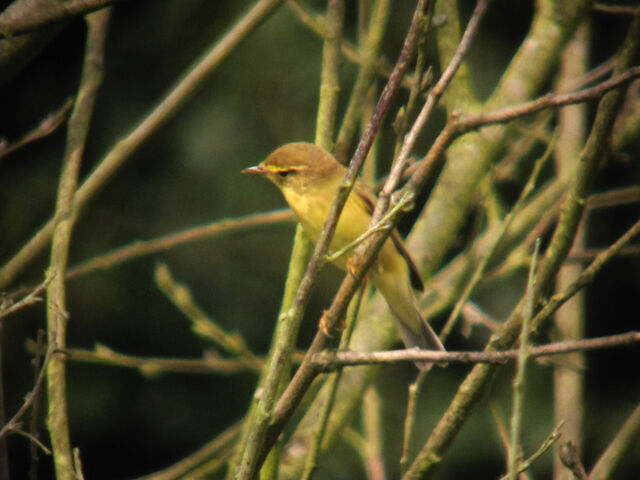 File:Willow warbler 09082010 1 small.jpg
