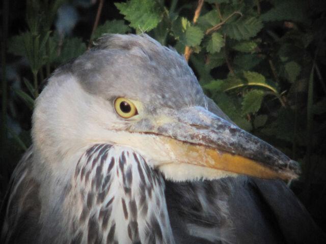 File:Grey heron canons 21052010 small 3.jpg