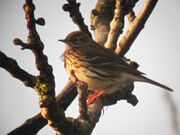 Meadow pipit 21032010 1 small