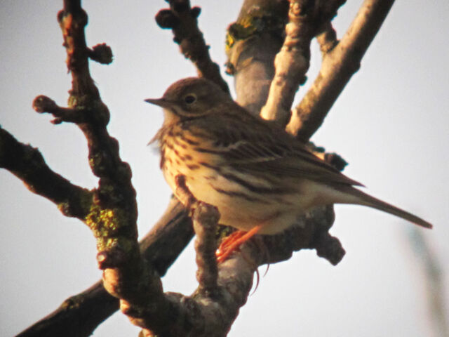File:Meadow pipit 21032010 1 small.jpg