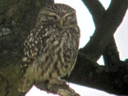 Little owl 24052010 1 small