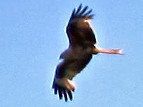 File:Red kite 24052010 1.jpg