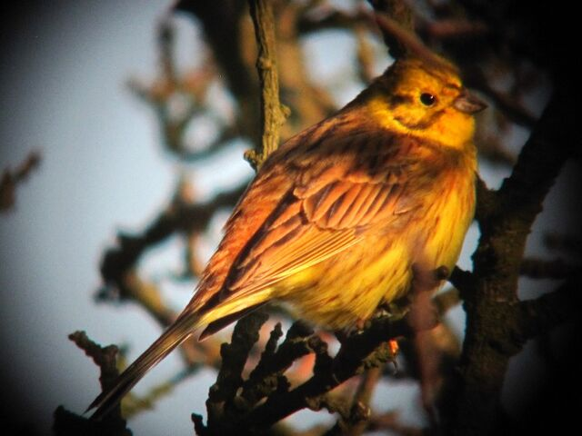 File:Yellowhammer 17022010 small 1.jpg