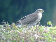 Sparrowhawk fem 25042010 1