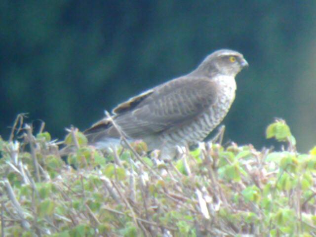 File:Sparrowhawk fem 25042010 1.jpg