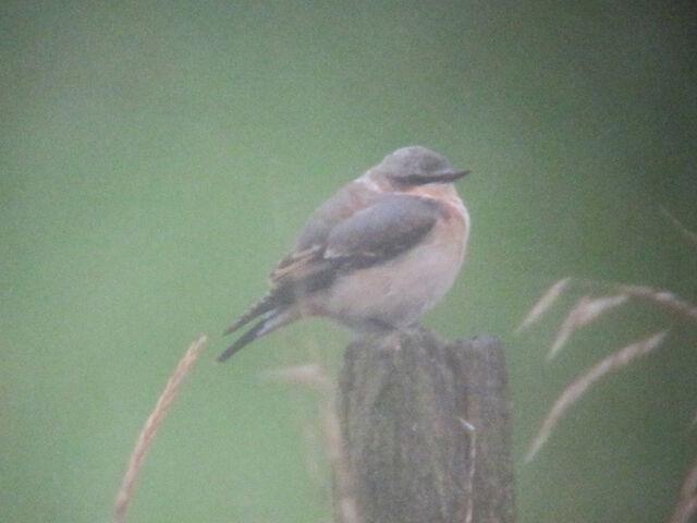 File:Northern wheatear 27082010 small 1.jpg