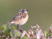 Whinchat 25042010 phil wallace