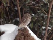 Little owl 02122010 1