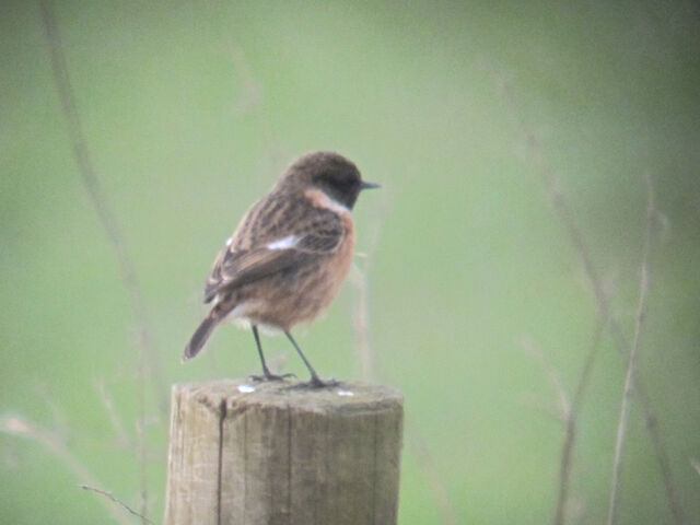 File:Stonechat 06032010 canons small 1.jpg