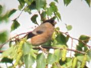 Bullfinch 09082010 1 small
