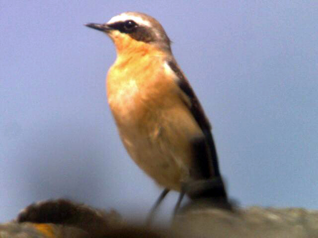 File:Wheatear 18042010 2 male.jpg