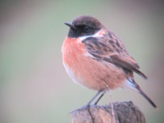File:Stonechat 27022010 1 small.jpg