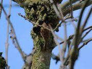 Treecreeper 21032010 mark stanley