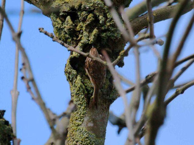File:Treecreeper 21032010 mark stanley.jpg