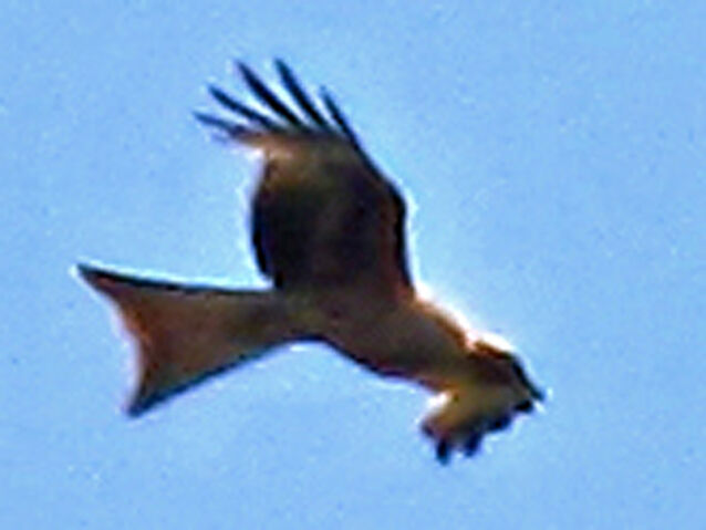 File:Red kite 24052010 2 big.jpg
