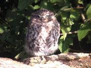 Little owl 12102010 1 small