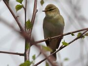 Willow warbler 27042010 MS