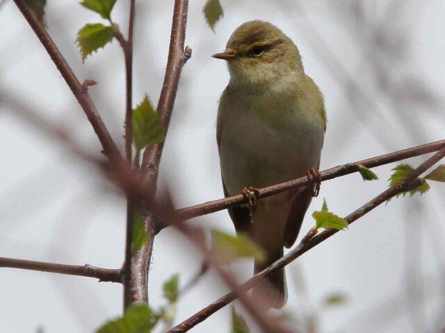 File:Willow warbler 27042010 MS.jpg
