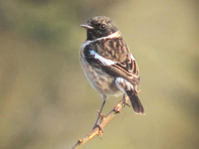 File:Stonechat 02032010 small 1.jpg