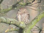 Little owl 21032010 2 small