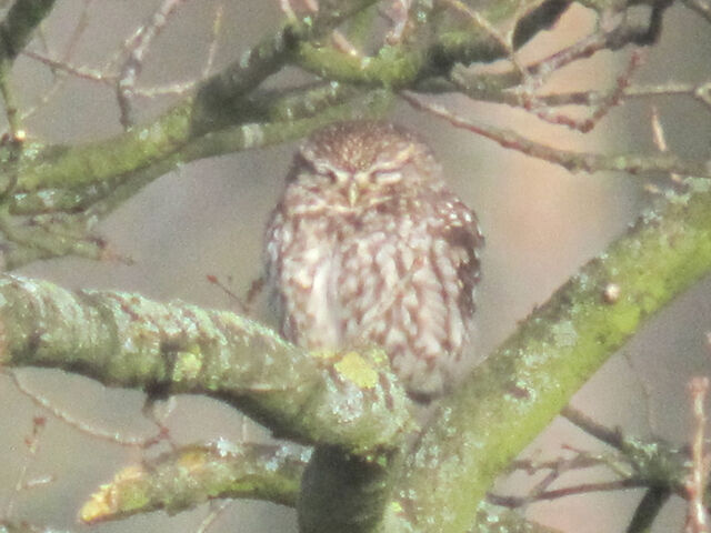 File:Little owl 21032010 2 small.jpg
