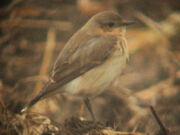 Wheatear 08052010 5 (bird 2) sm