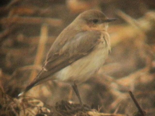 File:Wheatear 08052010 5 (bird 2) sm.jpg
