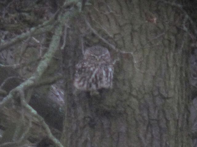 File:Little owl 27022010 1 small.jpg