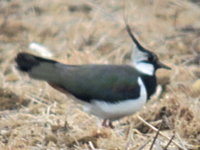 File:Lapwing 11052010 1 small.jpg