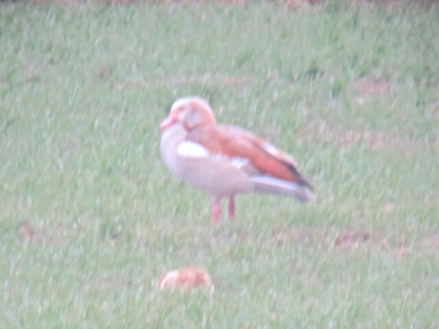 File:Egyptian goose 27022010 small 1.jpg