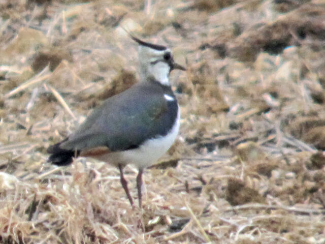 File:Lapwing 11052010 2 (fem) small.jpg