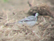 White wagtail 16052010 1 small