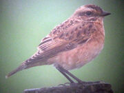 Whinchat 27082010 1 small