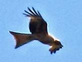 File:Red kite 24052010 2.jpg
