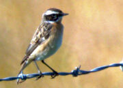 Whinchat ed 1