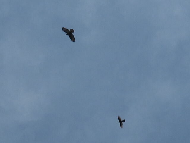 File:Common buzzard and sparrowhawk 01092010 1 small.jpg