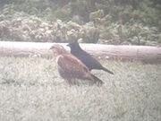 Common buzzard 27112010 1