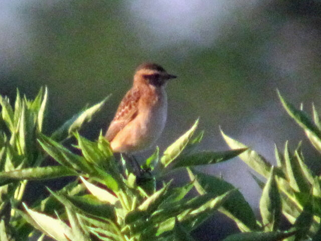 File:Whinchat 01092010 1 small.jpg